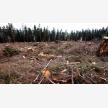 Tree Felling Services   Budget Tree Fellers (23118)